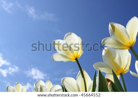Spring flowers - white tulips on the background of sky. Sweetheart variety - stock photo