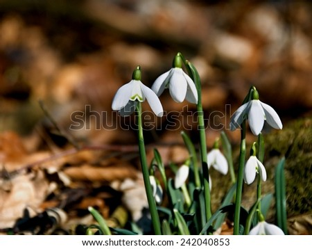 Spring flowers, wild snowdrops in a forest