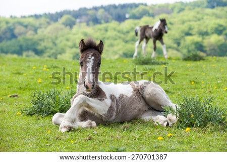 Spring Foal                                                                                                                              Foal laying in the spring sunshine amongst dandelion flowers.