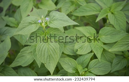 Spring Foliage of Chia, healthy organic herb Salvia, with new purple flower blossoms - stock photo
