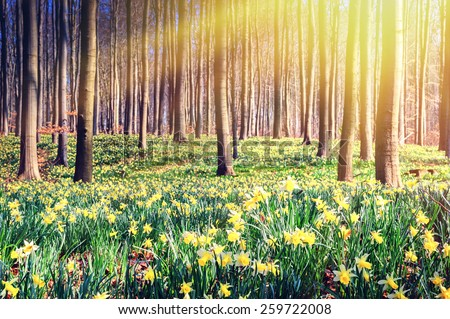 Spring forest covered by yellow daffodils - stock photo