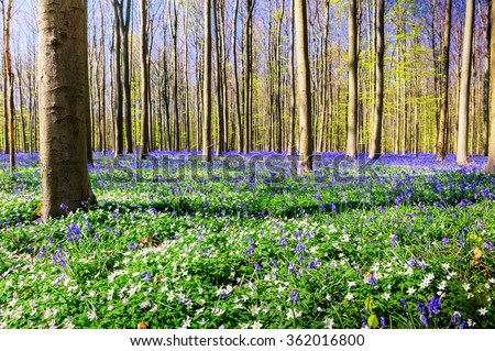Spring forest covered with bluebells and anemones flowers. Nature background - stock photo