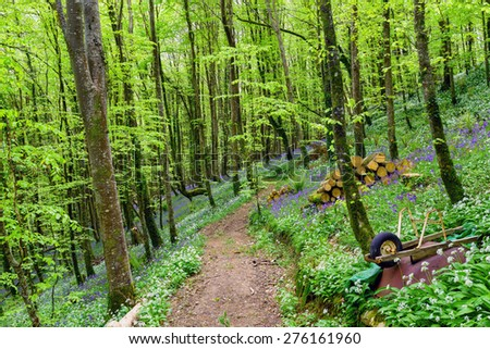 Spring forest path lined with bluebells and wild garalic flowers at woodland in Cornwall - stock photo