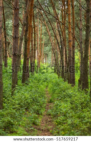 Spring forest, pine, pine forest, the green grass