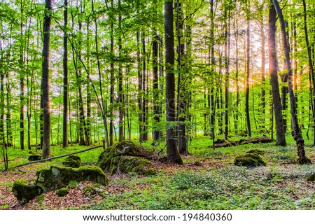 Spring Forest Sunset behind the trees. Fresh green colors. Rocks and Trees and green vegetation on the ground. Lovely Woods of Franconia
