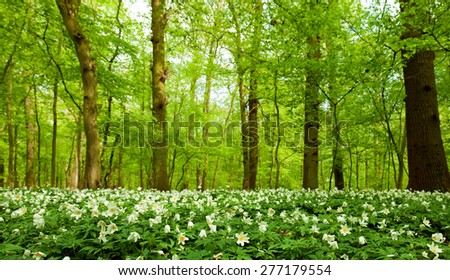 spring forest with anemone nemorosa - stock photo