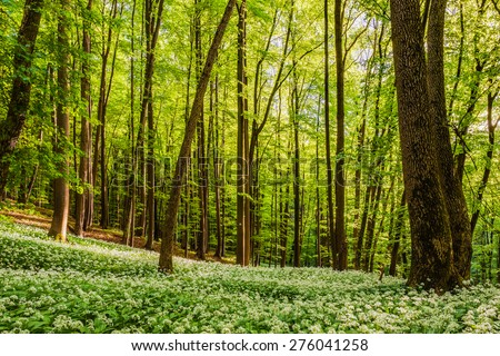 Spring Forrest. Fresh Green Woods in the Forest of Franconia, Germany. Blooming wild garlic.