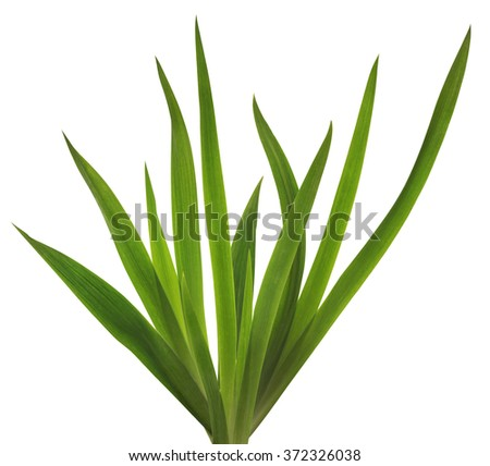 Spring  fresh Iris flower leaves isolated collage - stock photo