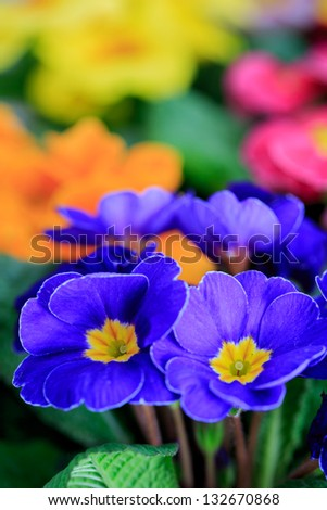 Spring garden, colorful primula flowers - stock photo