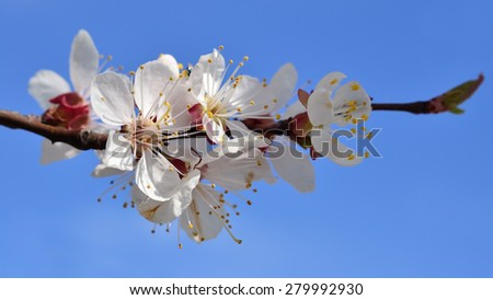 Spring garden flowers blooming apricot trees closeup against the blue sky