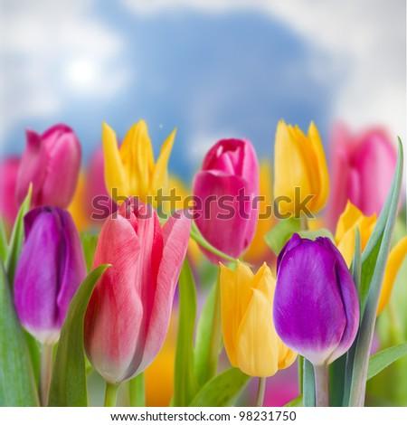 Spring garden, tulips - beautiful spring flowers - stock photo