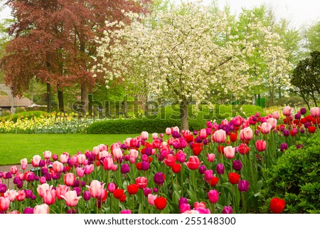 spring garden with blooming tree abd tulips,  Keukenhof, Holland - stock photo