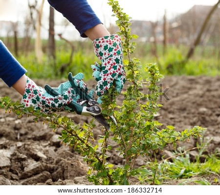 Spring gardening works - pruning the bushes. - stock photo