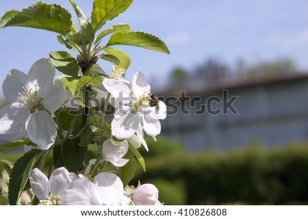 spring gathering nectar from flower bee apple - stock photo