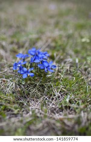 Spring gentian or gentiana verna, endangered species. - stock photo