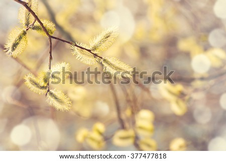 Spring gentle background with  blossoming willow catkins - stock photo