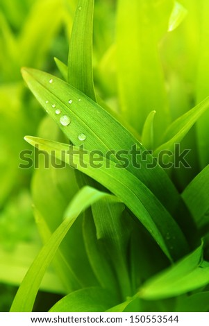 Spring grass. Drops of water on green grass, macro shot.