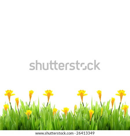 Spring grass with daffodils