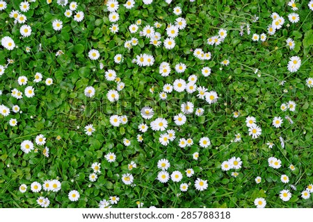 Spring green grass texture with white small flowers - stock photo