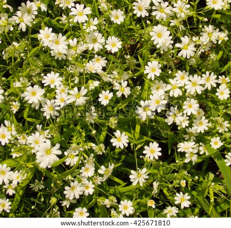 Spring green grass texture with white small flowers