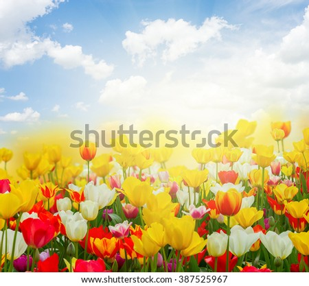 spring green lawn with yellow, red and white tulips in sunny day