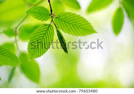spring green leaves background in a sunny day