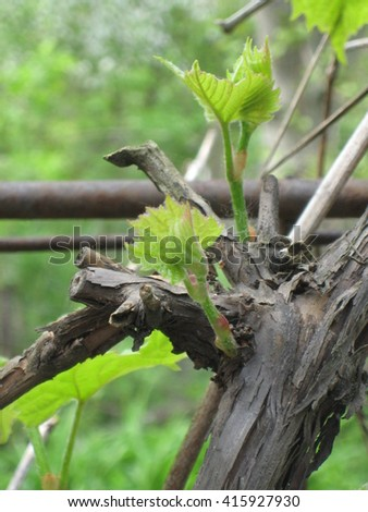 spring green sprouts on brown old vine