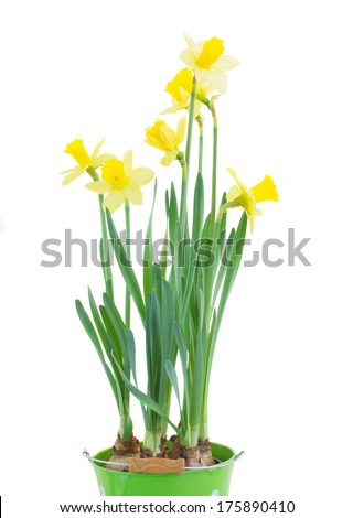spring growing daffodils isolated on white background