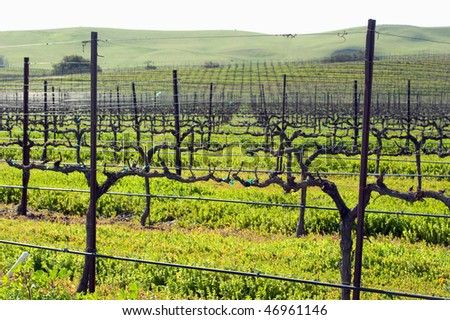 spring growth in the central coast vineyards - stock photo