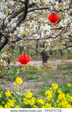Spring in an orchard and Flowering oilseed rapeseed.The red lantern on the tree. - stock photo