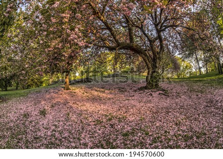 Spring in Central Park, New York City with Japanese Cherry Trees petals fallen on ground - stock photo