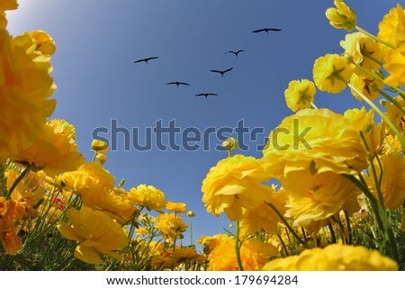 Spring in Israel. Picturesque field of bright yellow buttercups. Flies over a field angle of a flock of cranes.  - stock photo