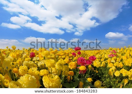 Spring in Israel. Picturesque field of bright yellow buttercups - ranunculus