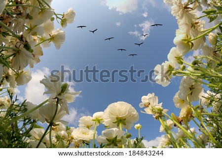 Spring in Israel. Picturesque field of large beautiful white buttercups ranunculus. Flies over a field angle of a flock of cranes.  - stock photo