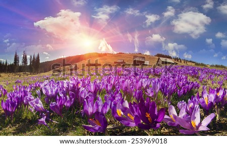 Spring, in March, April, May and mountainous areas  Carpathians, Tatras and the Alps are covered by a carpet of beautiful flowers, crocus, crocuses. Delicate stalk and bell that stretches to the sun. - stock photo
