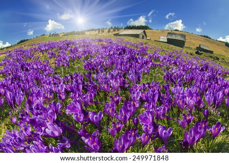 Spring, in March, April, May and mountainous areas in the Carpathians, Tatras and the Alps are covered by a carpet of beautiful flowers, crocus, crocuses. Delicate stalk and bell that stretches  sun. - stock photo