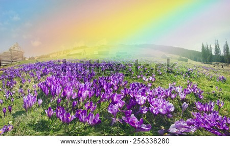 Spring, in March, April, May and mountainous areas in the Carpathians, Tatras and the Alps are covered by a carpet of beautiful flowers,  crocuses. Delicate stalk and bell that stretches to the sun. - stock photo