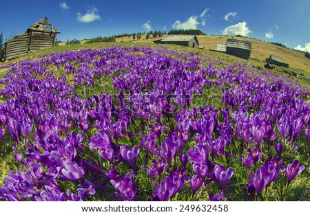 Spring, in March, April,  mountainous areas in the Carpathians, Tatras and the Alps are covered by a carpet of beautiful flowers, crocus, crocuses. Delicate stalk and bell that stretches to the sun. - stock photo