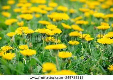 Spring in meadow - dandelion flowers - stock photo