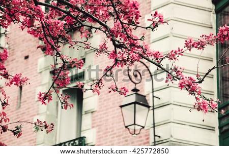 Spring in Paris. Blossoming Sakura tree and typical Parisian building. Toned photo. - stock photo