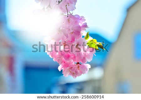 Spring in Stockholm, Cherry trees, blurred city in background - stock photo