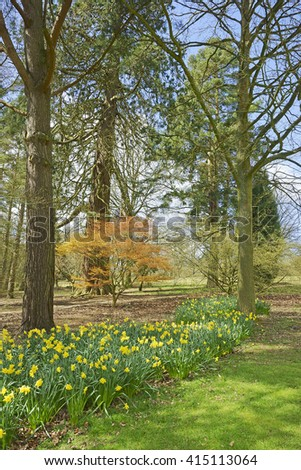 Spring in the Cotswold countryside with carpets of Daffodils, Narcissus, Gloucestershire, England, UK