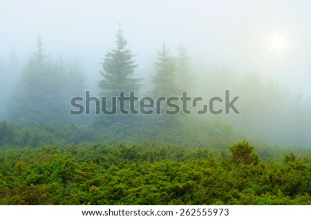 Spring in the mountains. Fog in the fir forest