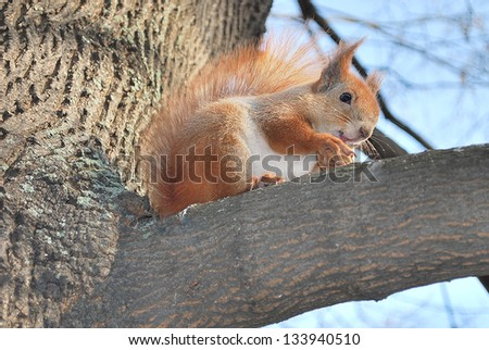 Spring in the park, sitting on a tree squirrel eating pine and walnut