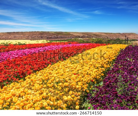 Spring in the south. Huge bright field with blooming buttercups - ranunculus of different colors - stock photo