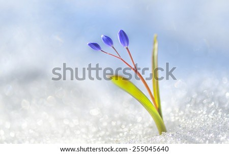 Spring is arriving - flower bud in the snow - stock photo