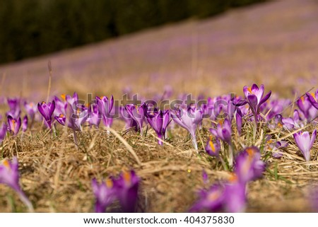 Spring is on. Blooming crocus flowers in the Tatra Mountains, Chocholowska Valley. Spring landscape. Beauty in nature. Carpathian crocuses. First flowers