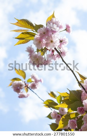 Spring japanese cherry tree, pink flowers - stock photo