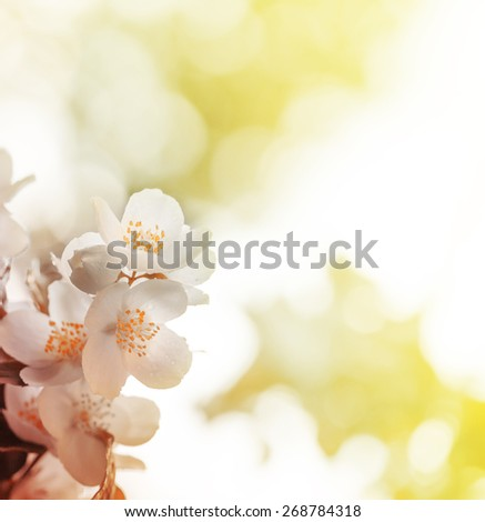 Spring Jasmine flower growing on the bush in garden with sun rays and bokeh/ toned picture - stock photo