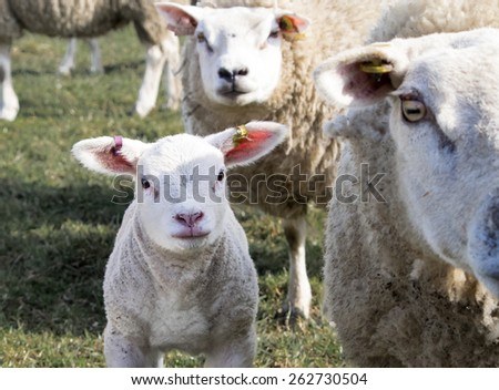 Spring lamb and mother in a field, near Holmfirth, West Yorkshire
